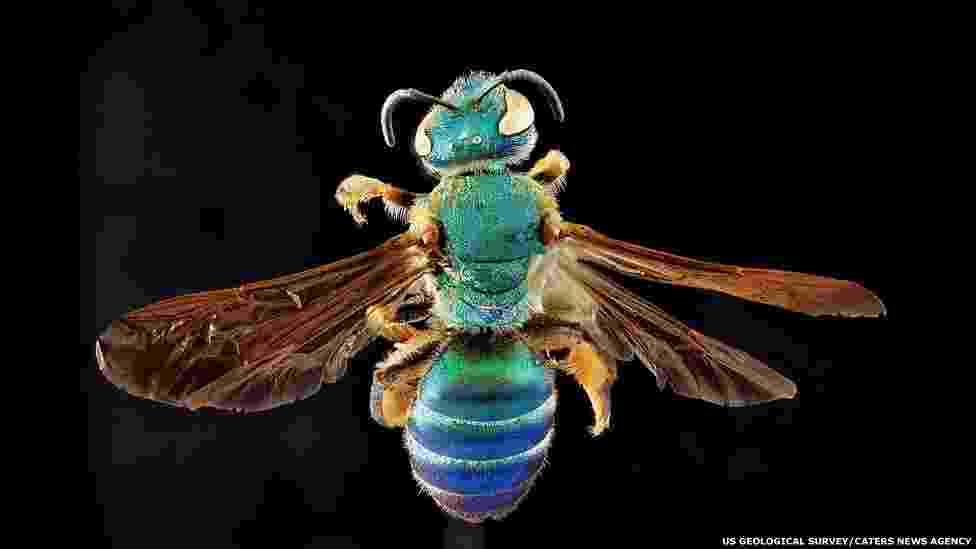 Estudo mostra riqueza de cores e formas em abelhas - Programa de Inventário e Monitoração de Abelhas do Serviço Geológico dos EUA/Caters News