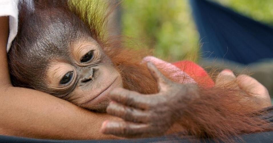 26.nov.2013- Um orangotango chamado Sura, de quatro meses, foi encontrado ferido, com três dedos cortados por um facão, em Tumbang Koling, em Bornéu, na Indonésia, após a floresta onde vivia ser desmatada para a plantação de palmas para obtenção de óleo. Sura foi descoberto por um morador local e está sob cuidados de especialistas do centro de resgate local