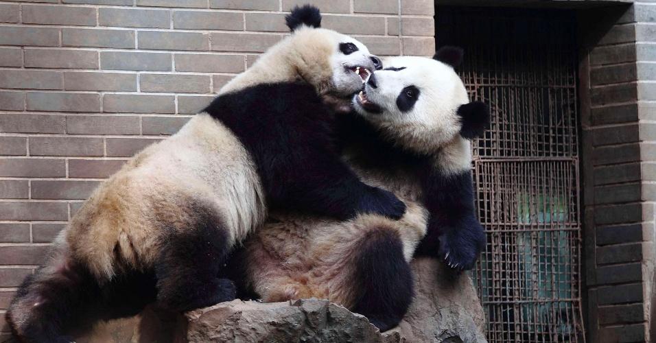 27.nov.2013 - Pandas gigantes gêmeos de dois anos brincam em zoológico de Hangzhou