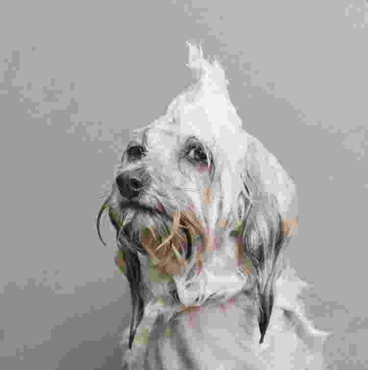 28.nov.2013 - A fotógrafa nova-iorquina Sophie Gamand, 33, criou o projeto chamado ?Wet Dog? (Cão Molhado, em tradução livre) em que registra trejeitos e movimentos de cães quando estão molhados. O resultado do ensaio fez grande sucesso na internet - Sophie Gamand/strikingpaws.com/wet-dog/