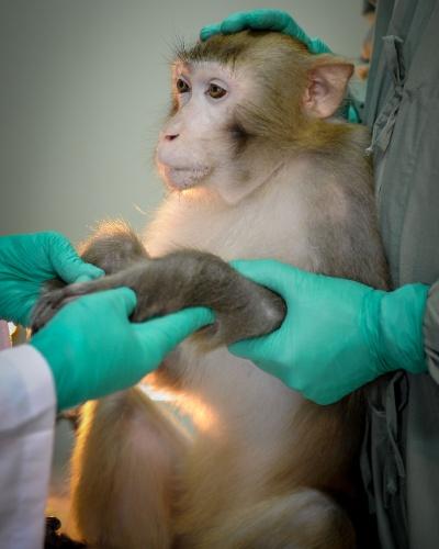 """29.nov.2013- Pesquisadores examinam macaco que durante cinco anos recebeu uma vacina contra aids em um estudo pré-clínico na China. O time descobriu que a nova estratégia com altos níveis de células T e B suprimiu a transmissão viral e a replicação do HIV significativamente e atrasou o desenvolvimento da aids em todos os macacos vacinados. O estudo foi publicado na revista """"Virology"""""""