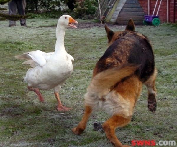 Rex era um cachorro muito nervoso e agressivo antes de conhecer a gansa Geraldine. Ele sempre atacava os humanos e até dar comida para ele era missão impossível, mas o cãozinho está mudado depois que conheceu a gansa. Hoje em dia, os dois não se desgrudam, dividem a mesma tigela de comida e dormem juntos