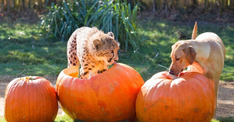 1.dez.2013 - O guepardo Kasi e a fêmea de labrador Mtani são inseparáveis. Os dois vivem juntos no zoológico Busch Gardens, em Tampa, Flórida (EUA). Amigos desde que ainda eram filhotes os dois estão se separando. Agora que Kasi é adulto está mais interessado em fêmeas de sua espécie e aos poucos se despede de Mtani