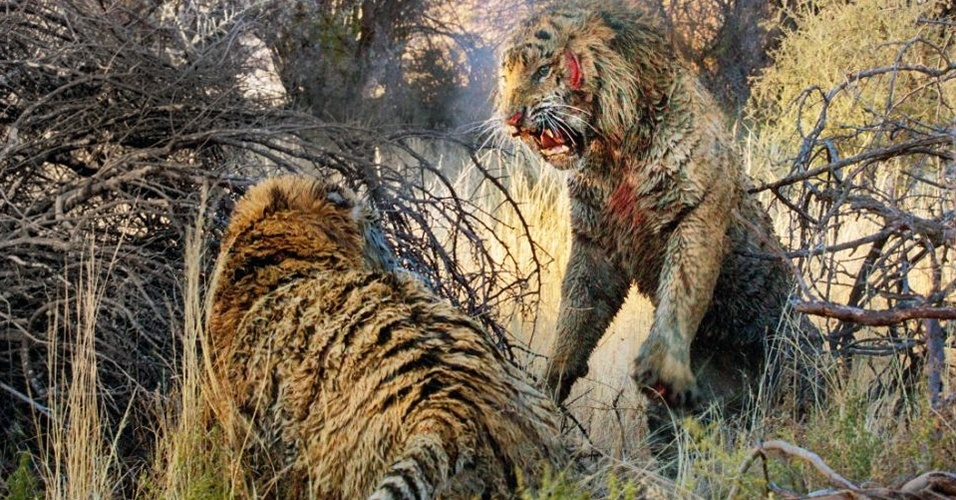 """3.dez.2013- Fotógrafo alemão capturou o momento em que dois tigres lutaram por seu território na reserva """"Tiger Canyons"""", na África do Sul. O embate começou quando um deles deu um golpe com as garras no pescoço do oponente. O tigre da direita, maior e mais jovem, venceu a batalha. Quando ele se distraiu e achou que o outro tigre já estava morto após 45 minutos de mordidas e arranhões, o rival conseguiu escapar com vida"""