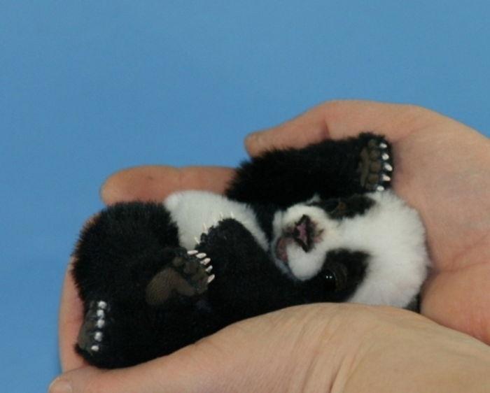 04.dez.2013 - Esse filhote de panda com certeza também cabe em uma xícara