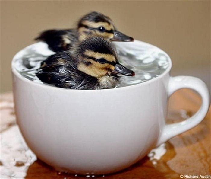 04.dez.2013 - Estes patinhos são tão pequenos que conseguem nadar em uma xícara de chá