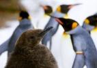 Como o aquecimento global está afastando filhotes de pinguim de seu alimento vital - Arnd Wiegmann/Reuters