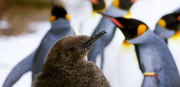 Os pinguins-rei são a 2ª maior espécie de pinguins no mundo, em número de animais