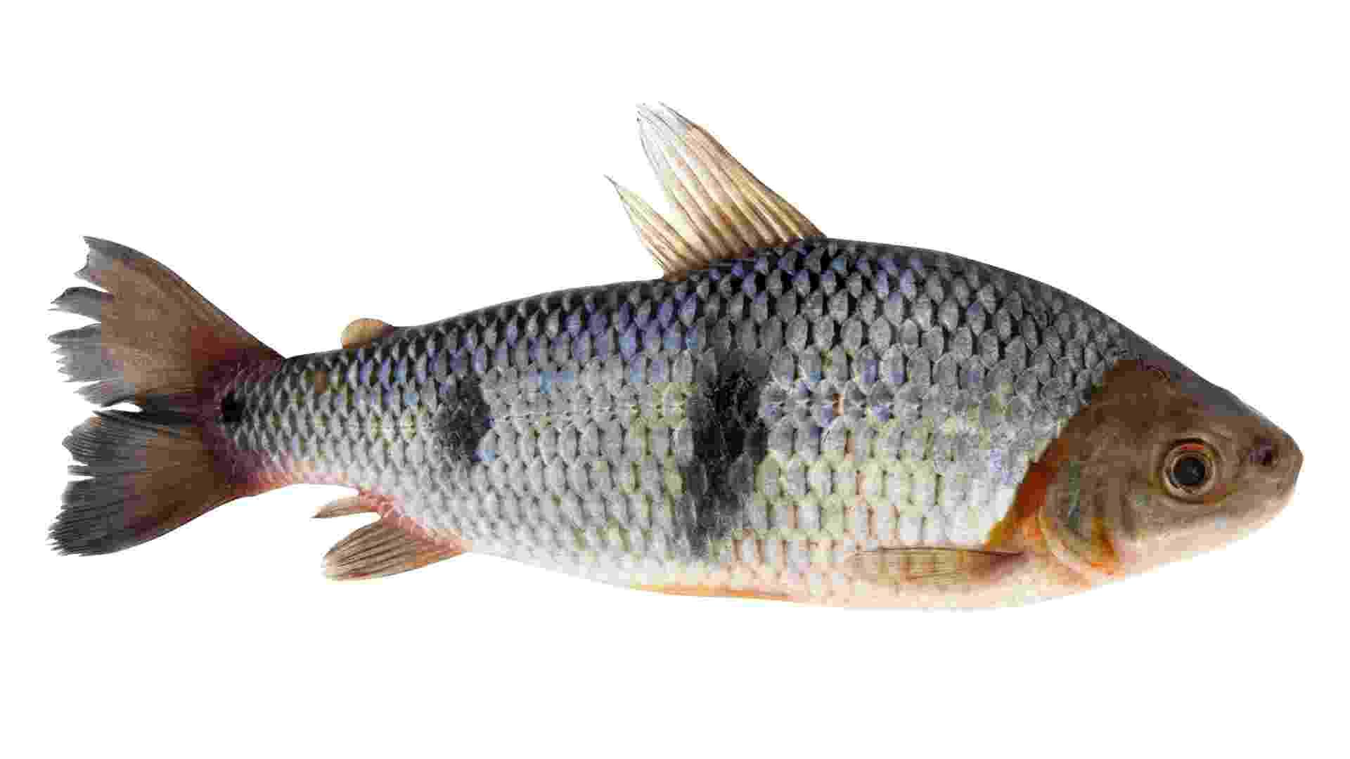 10.dez.2013 - O aracu é um dos peixes processado pelo Frigorífico Maués, de Maués (AM) e vendido por R$ 6,9 o kg para ser servido como merenda na rede pública de ensino de Manaus. Em 2013, a empresa aumentou a produção em 48%, para 350 toneladas - Jefferson Christofoletti/Embrapa/Divulgação
