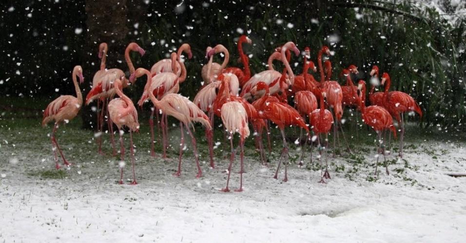 12.dez.2013 - Flamingos sob a neve no Zoológico Bíblico de Jerusalém, em Israel, nesta quinta-feira (12)