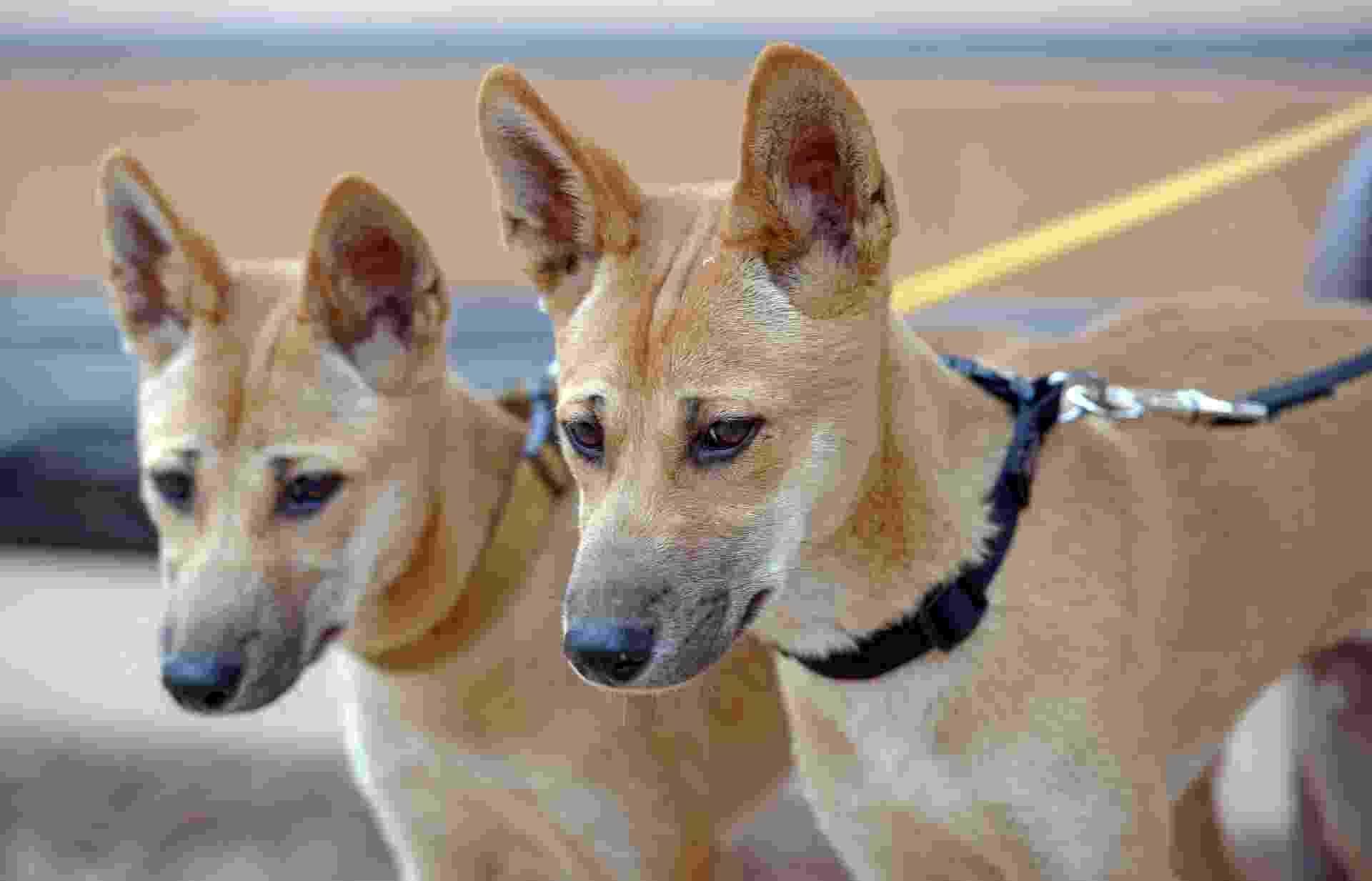 13.dez.2013 - Dingo, cão selvagem australiano, luta para se salvar da extinção - AFP/Greg Wood
