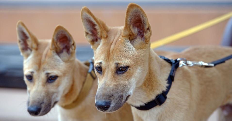 13.dez.2013 - Dingo, cão selvagem australiano, luta para se salvar da extinção