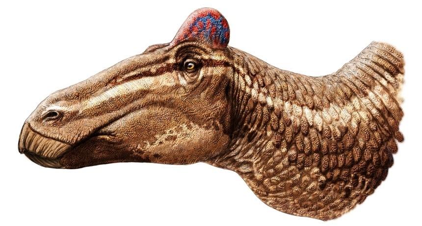 13.dez.2013 - O dinossauro conhecido por ter bico de pato, o edmontossauro provavelmente também tinha uma crista, como a de galos, informaram cientistas da Universidade da Nova Inglaterra em Armidale, na Austrália. Um fóssil de crânio descoberto recentemente tem restos do que seria uma crista carnuda, diz o paleontólogo Phil Bell, autor de estudo publicado em 12 de dezembro na revista Current Biology. É a primeira vez que uma crista desossada é encontrada em qualquer dinossauro (imaginada em azul e vermelho na ilustração)