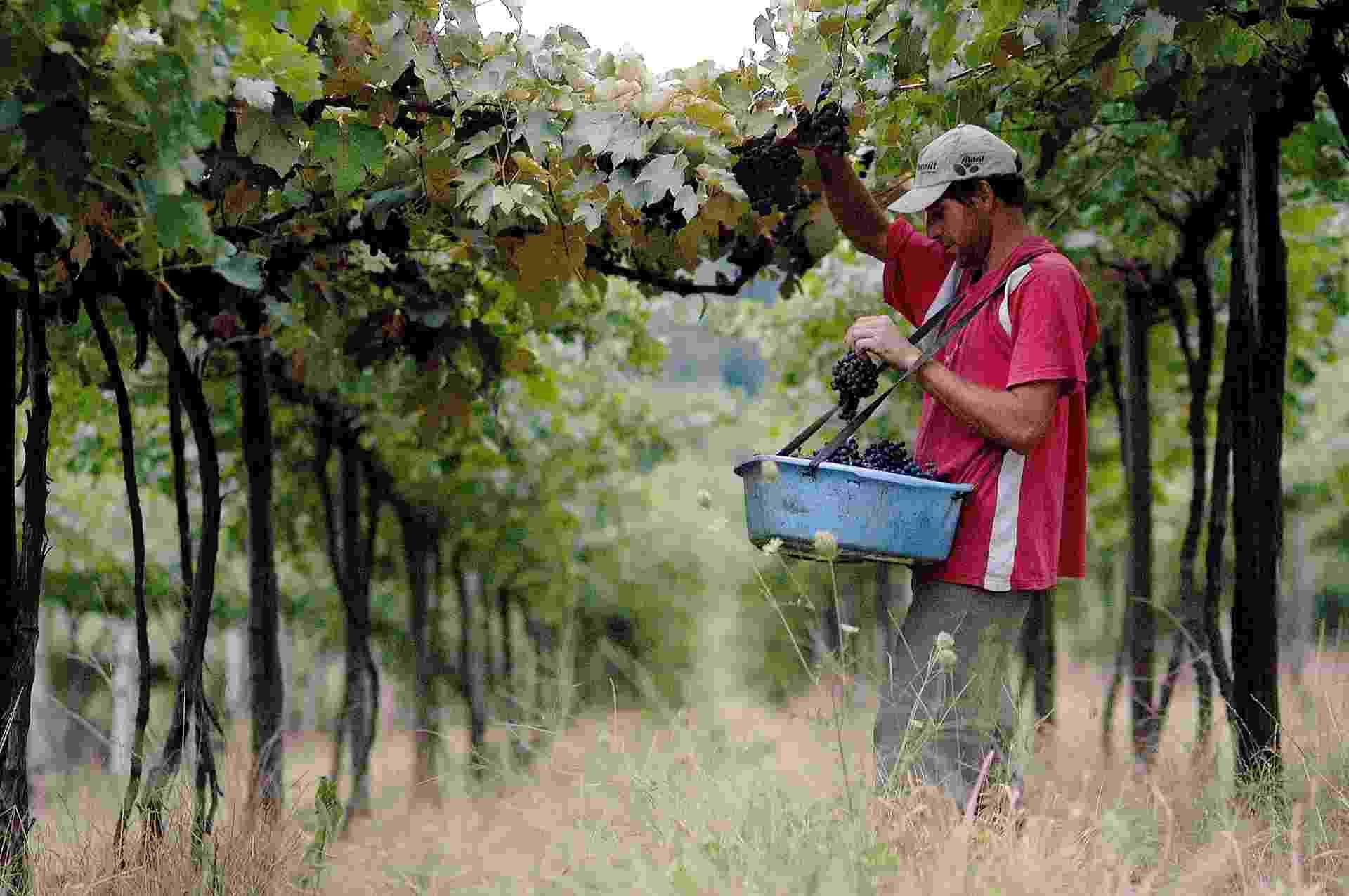 O município de Monte Belo do Sul é o maior produtor per capita de uvas especiais para a elaboração de vinhos finos, da América Latina, com 16 toneladas per capita/ano - Divulgação/Gilmar Gomes