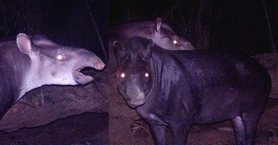 """17.dez.2013 - Nova espécie de anta é descoberta na Amazônia brasileira. Chamada de """"Tapirus kabomani"""", ela era conhecida pela população local como anta pretinha. Habitante de campos amazônicos com vegetação esparsa, ela é menor e tem a pelagem mais escura que a anta comum no Brasil, a """"Tapirus terrestris"""". Esta é a quinta espécie de anta conhecida e foi descrita no """"Journal of Mammalogy"""""""