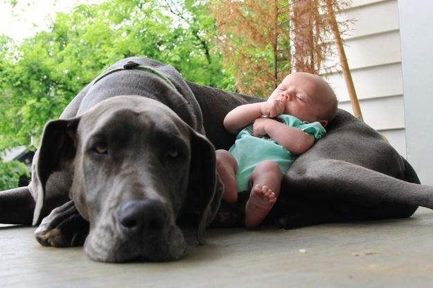 18.dez.2013 - Esse cão serve até de berço para o bebê