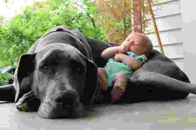 18.dez.2013 - Esse cão serve até de berço para o bebê - Reprodução/Buzzfeed