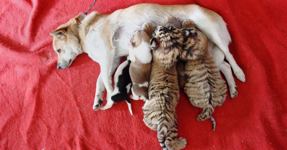 24.dez.2013 - Filhotes de tigre siberiano