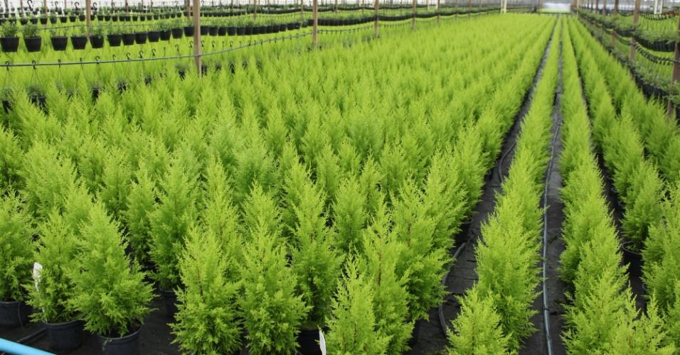 Os pinheiros comprados para enfeitar o Natal sobrevivem até três anos após a data se receberm os cuidados necessários