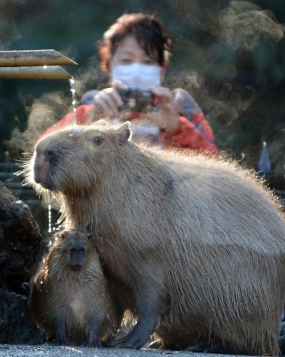 25.dez.2013 - Capivaras tomam banho em zoológico de Higashi Matsuyama (Japão)