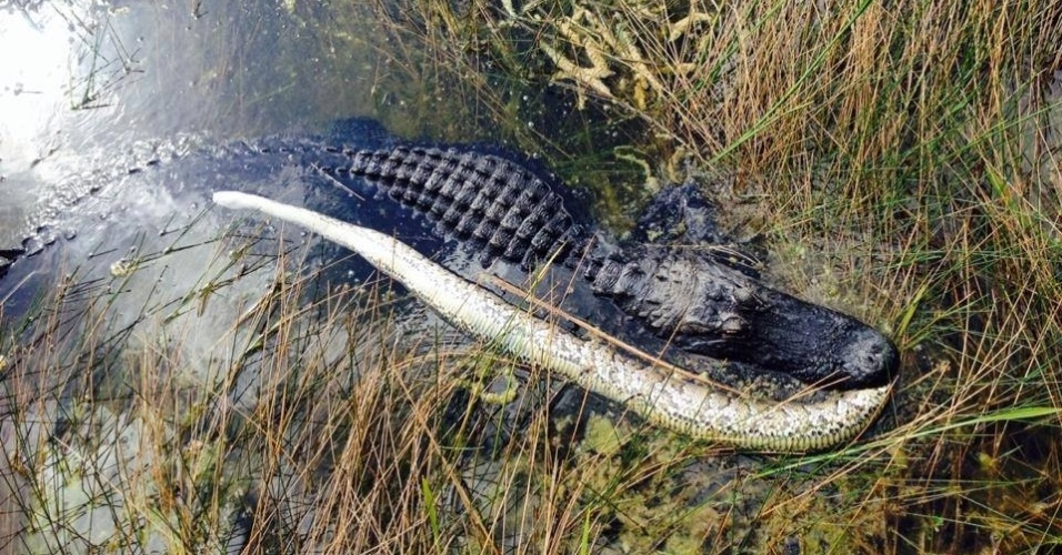 25.dez.2013- No início de dezembro ocorreu um embate clássico no Parque Nacional Everglades, nos EUA: um jacaré versus uma cobra píton de espécie invasora birmanesa. Desta vez, quem se deu bem foi o jacaré (embora algumas vezes ocorra o contrário e a cobra devore o réptil). Os funcionários do parque foram chamados por um visitante que viu o jacaré correr rápido para debaixo de uma ponte e depois com a cobra na boca