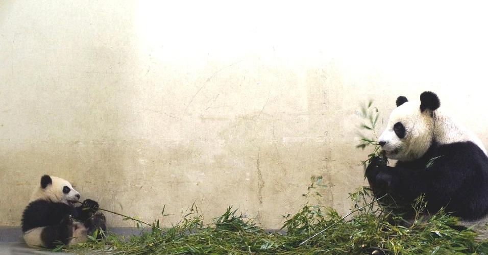 30.dez.2013 - Filhote de panda gigante masca bambu com a mãe no zoológico de Taipei