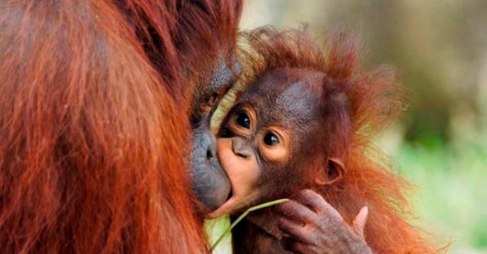 1°.jan.2014 -   O fotógrafo japonês Hiroya Minakuchi flagrou um orangotango de 18 meses mordendo o nariz de sua mãe. Minutos antes, o  animal havia acabado de comer no zoológico de Tóquio (Japão), onde vive ao lado da mãe de 12 anos.