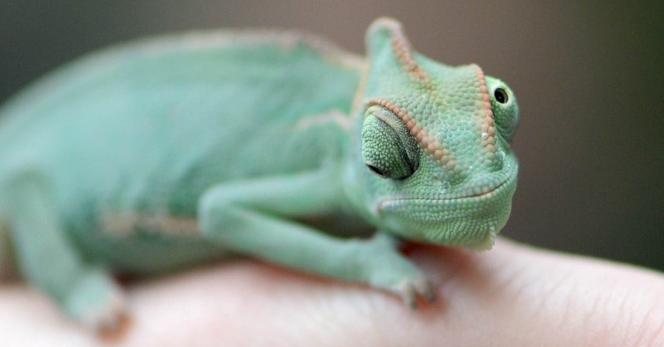 02.jan.2013 - Um camaleão, também conhecido como o Camaleão do Iêmen, senta no dedo de um funcionário durante um inventário no parque de plantas tropicais e animais Biosphere Potsdam, na Alemanha