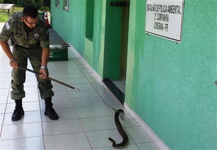 2.jan.2014 - Policiais ambientais capturaram na tarde desta quinta-feira (02) uma cobra cascavel, em uma casa, no Jardim Tarobá, na zona Sul de Londrina (Paraná). O animal media quase dois metros e estava em um local usado como depósito