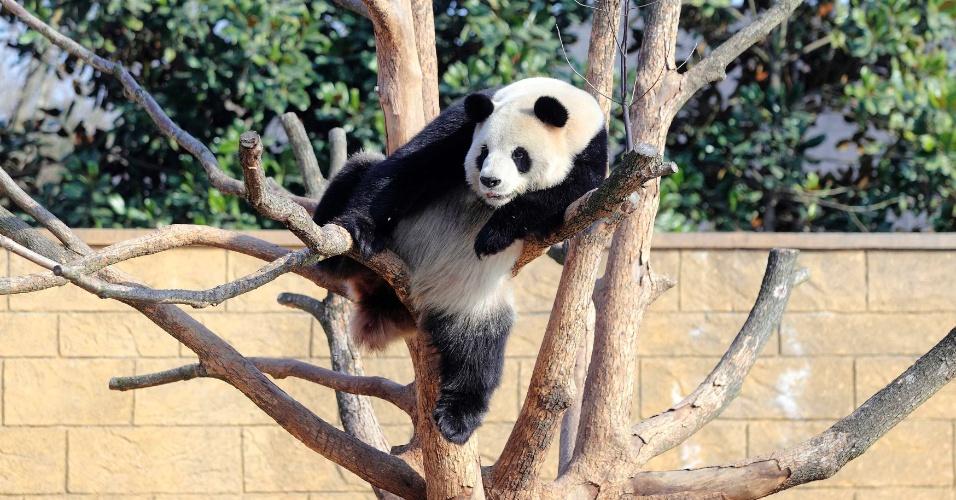 2.jan.2014 - Um panda gigante descansa em cima de uma árvore no zoológico de Hangzhou, na província de Zhejiang, na China. A imagem foi feita ontem (1º) e divulgada nesta quinta-feira (2)