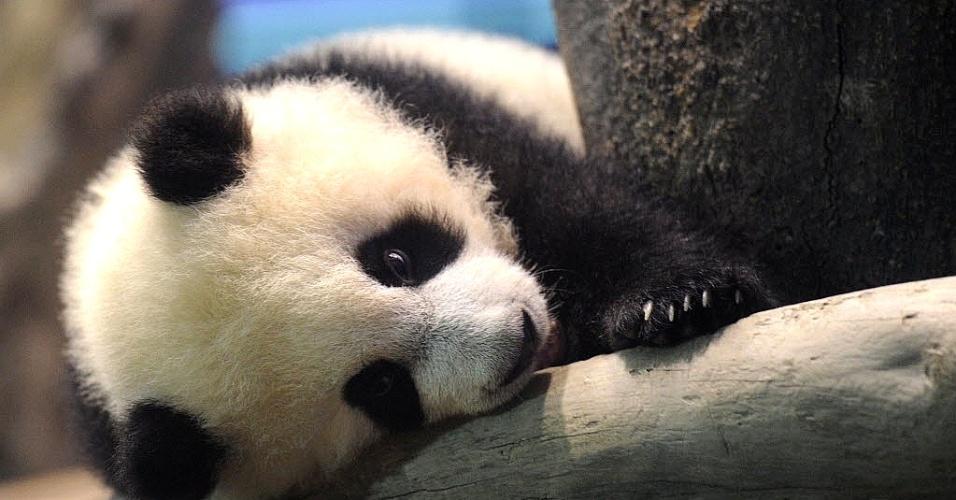4.jan.2014 - Yuan Zai, o primeiro bebê panda gigante nascido em Taiwan, é visto no zoológico de Taipei. O filhote fara sua primeira aparição para o público na próxima semana