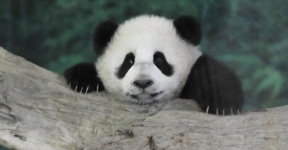 6.jan.2014 - Yuan Zai, o primeiro bebê panda nascido em Taiwan, sobe em galho no zoológico de Taipei