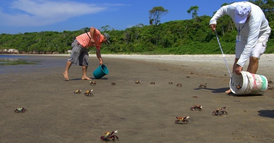 8.jan.2014 - Caranguejos-uçá são recolhidos após 'cobrirem' a praia de Itaguaré, em Bertioga (SP), nesta quarta-feira (8). Segundo a Secretaria Municipal de Meio Ambiente, os animais deixaram o mangue por causa da chuva do último fim de semana, que levou água doce a seu habitat. Os caranguejos foram transportados a um manguezal situado a 14 km de Itaguaré