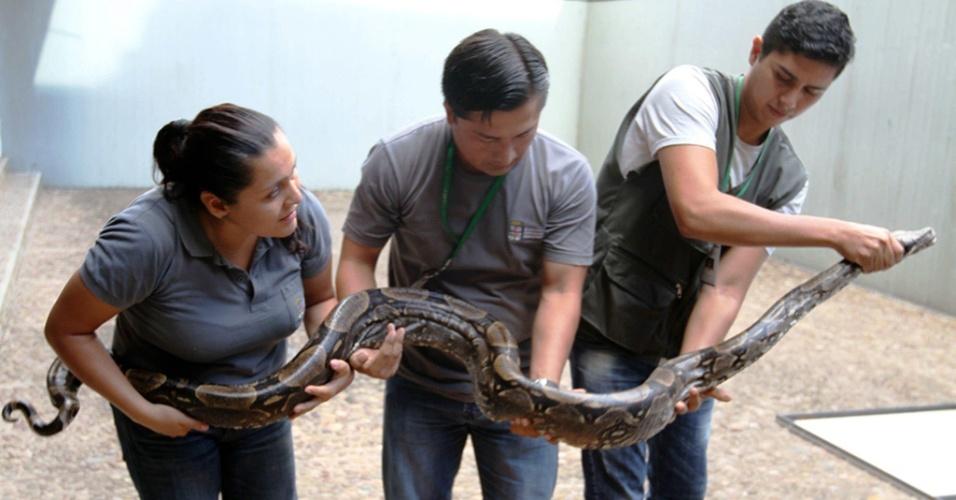 8.jan.2014 - Cobra de 3 metros é carregada por três pessoas após dar à luz cerca de 60 filhotes perto de um quartel em Montero, no leste da Bolívia. Os animais foram levados temporariamente para um centro de proteção