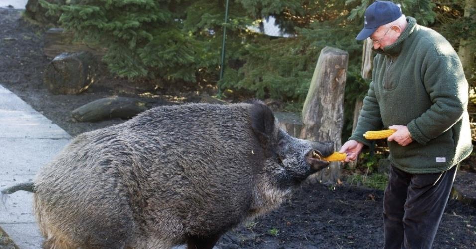 8.jan.2014 - O aposentado alemão Guenter Kuhla alimenta com uma espiga de milho seu animal de estimação, o javali Max, em Spremberg, Alemanha. A família adotou Max há quase 12 anos