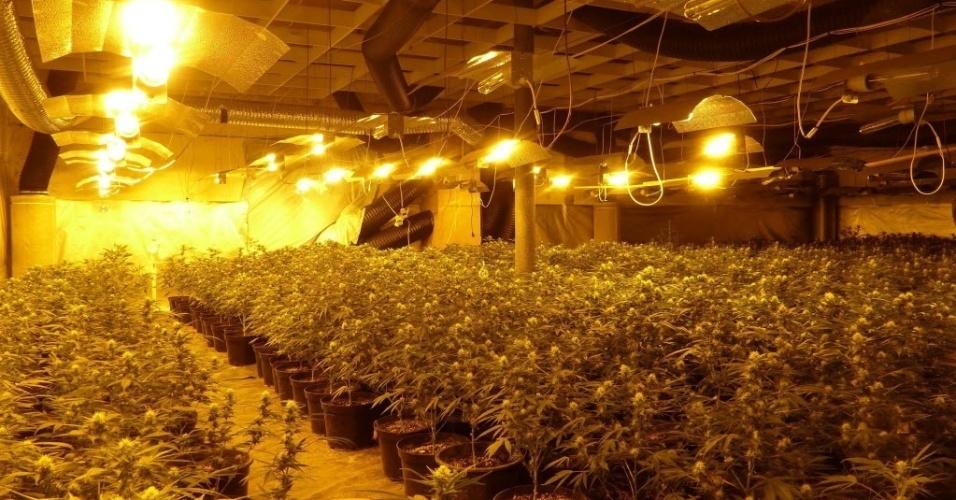 8.jan.2014 - Plantação de maconha é descoberta durante uma operação policial em Haldensleben, Alemanha. Foram apreendidos 3.000 plantas da droga no local