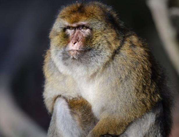 8.jan.2014 - Um macaco Barbary fica em uma balaustrada de madeira no parque de animais Affenberg em Salem, sudoeste da Alemanha