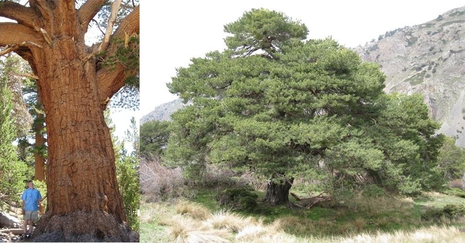 """15.jan.2014 - As maiores árvores do mundo - como este pinheiro escocês (Pinus sylvestris), à direita, em Sierra de Baza na Espanha - são também as que crescem mais rápido, de acordo com nova análise com mais de 403 espécies de árvores. À esquerda, outro pinheiro, o """"Pinus monticola"""", na Serra Nevada, na Califórnia. A pesquisa aponta que, ao contrário do que já se pensou sobre esse tema, essas árvores têm a capacidade de absorver maiores quantidades de dióxido de carbono da atmosfera, mesmo quando já mais velhas, do que árvores de porte menor e mais jovens"""