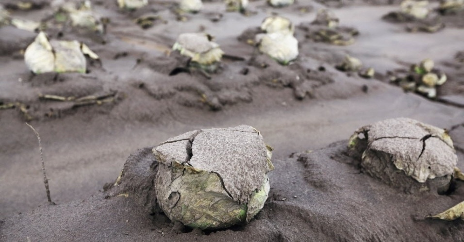 16.jan.2014 - Pés de repolho ficam cobertos de cinzas vulcânicas na vila de Kuta Gugung, no distrito de Karo, na Indonésia