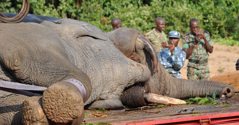 20.jan.2014 - Um caminhão transporta um elefante capturado pela ONG Fundo Internacional para o Bem-estar Animal (Internacional Fund for Animal Welfare) nesta segunda-feira (20) na vila de Tapegue, em Daloa. A organização comanda uma operação para realocar dezenas de elefantes ameaçados no parque nacional de Marahoue, na Costa do Marfim, na África. Os fazendeiros acusam os animais de destruir suas plantações e os grupos de proteção animal temem que os elefantes sejam sacrificados no conflito