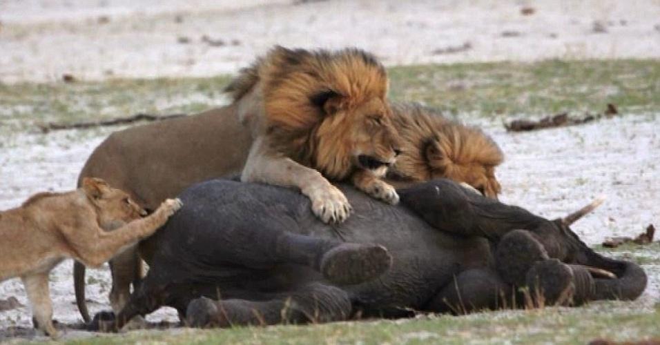 21.jan.2014 - Jovem leão derruba filhote de elefante no Parque Nacional Hwange, no Zimbábue. O elefante ainda tentou escapar desequilibrando o inimigo, mas outros dois leões se aproximaram e venceram a disputa. A imagem foi retratada por Heidi e Kurt Haas. Segundo Haas, a luta do elefante pela sobrevivência levou cerca de 40 minutos