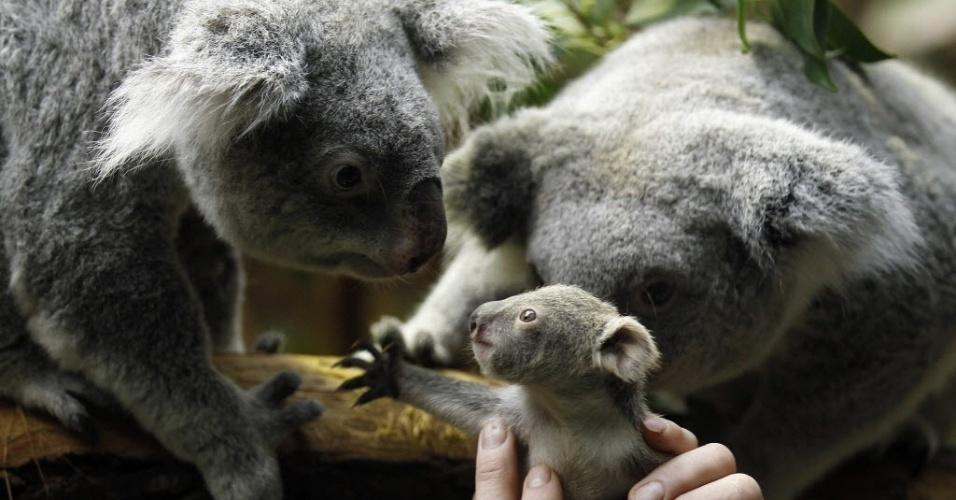 22.jan.2014 - Um tratador segura um pequeno coala e o mostra para a sua mãe Eola (direita) depois de um procedimento de pesagem no zoológico na cidade alemã de Duisburg. O bebê coala, que nasceu em dois de julho de 2013, pesa 350 gramas e ainda não tem um nome