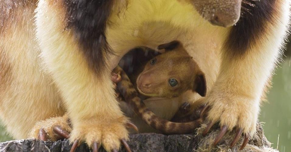 23.jan.2014 - Mani, filhote de canguru do zoológico nacional de Camberra (Austrália), espia fora do marsúpio da mãe, nesta quinta-feira (23). O filhote nasceu em setembro de 2013 no zoo da capital australiana e é o primeiro em cativeiro