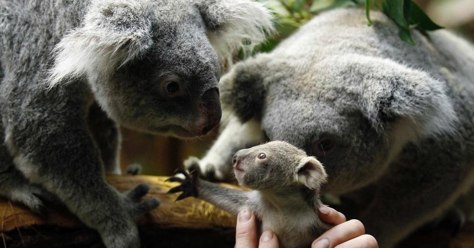 22.jan.2014 - Um tratador devolve um bebe coala para sua mãe depois de um procedimento de pesagem no zoológico de Duisburg, na Alemanha