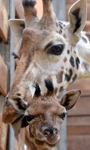 24.jan.2014 - A girafa recém-nascida explora seus arredores ao lado de sua mãe no Zoológico de Leipzig, na Alemanha
