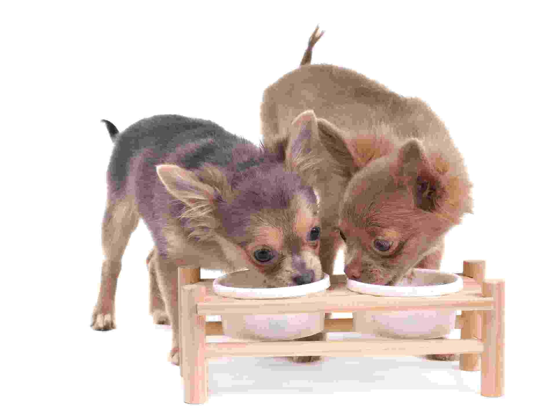 dois cachorros chihuahua comem e bebem; bebedouro, comedouro, cães, pets - Getty Images/iStockphoto