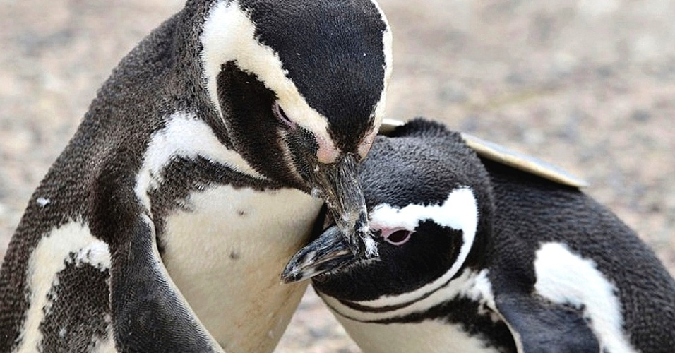 29.01.2014 - Pinguim-de-magalhães é fotografado com seu filhote na Patagônia