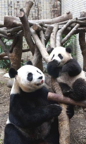 31.jan.2014 - Filhote de panda gigante brinca com sua mãe no zoológico de Taipei, em Taiwan. O filhote, nascido em julho de 2013, é o primeiro filhote do casal Tuan Tuan e Yuan Yuan, que foi doado pelo governo chinês a Taiwan