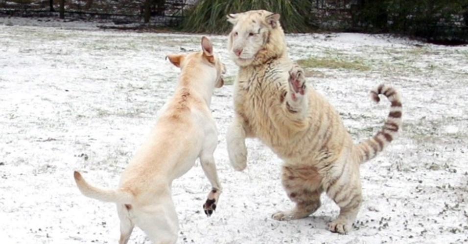 31.jan.2014 - O labrador Buda tem uma amizade especial com os tigres do santuário de animais em Myrtle Beach, Carolina do Sul. Segundo o proprietário do local, não é comum nevar nessa região e desde que os animais avistaram o gelo, não pararam mais de brincar. O felino sempre leva a melhor nas brincadeiras, mas isso não impede que eles se divirtam juntos