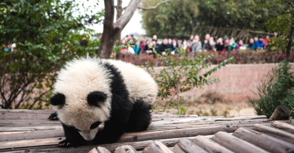 4.fev.2014 - Filhote de panda gigante é visto em base de pesquisa em Chengdu, capital da província de Sichuan, sudoeste da China, na segunda-feira (03). Um carnaval temático sobre o animal foi realizado no local durante o Festival da Primavera